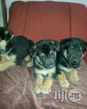 Pure German Shepherd Puppies for Sale | Dogs & Puppies for sale in Lagos State, Surulere