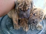 Top Quality Boerboel Puppies for Sale | Dogs & Puppies for sale in Lagos State, Surulere