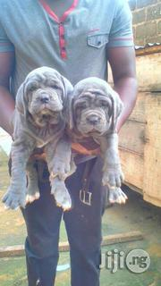 Top Quality Neapolitan Mastiff Puppies Available for Sale | Dogs & Puppies for sale in Lagos State, Surulere