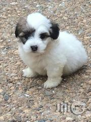 Indoor Pet Dogs Lhasa Apso Puppy / Puppies Super Cute | Dogs & Puppies for sale in Lagos State, Gbagada