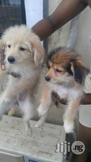 Shewawa Puppys. Two Weeks Old | Dogs & Puppies for sale in Abuja (FCT) State, Dutse-Alhaji