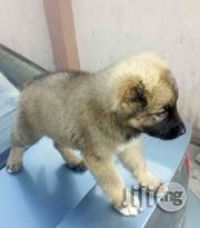 Solid Caucasian Poppy for Sale | Dogs & Puppies for sale in Oyo State, Ibadan