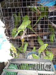 Parakeet Parrot For Sale | Birds for sale in Lagos State