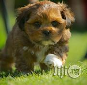 Adorable Brownie Lhasa Puppy   Dogs & Puppies for sale in Lagos State, Ikeja