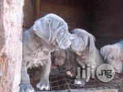 Neapolitan Mastino | Dogs & Puppies for sale in Plateau State, Jos