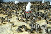 Quail Birds | Livestock & Poultry for sale in Cross River State, Calabar