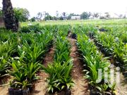 Malaysia Oil Palm Nursery | Meals & Drinks for sale in Cross River State, Yakuur