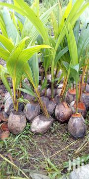 Hybrid Coconut Seedlings   Feeds, Supplements & Seeds for sale in Lagos State, Badagry