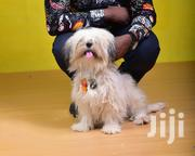 Lhasa Apso Pups   Dogs & Puppies for sale in Lagos State, Maryland