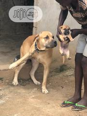 A Very Good Boerboel Available Both Male and Female | Dogs & Puppies for sale in Lagos State, Surulere
