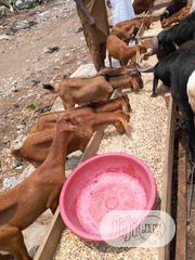 Red Sokoto Goat ( Ogunfe ) | Livestock & Poultry for sale in Lagos State, Agege