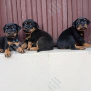 Young Male Purebred Rottweiler | Dogs & Puppies for sale in Lagos State, Ikeja