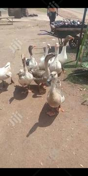 Pure Breed Chinese Goose For Give Away Prices | Livestock & Poultry for sale in Kaduna State, Zaria