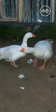 Geese and Turkey   Livestock & Poultry for sale in Rivers State, Obio-Akpor