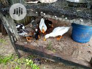 Foreign Ducks For Sale | Livestock & Poultry for sale in Kaduna State, Zaria