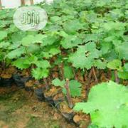 Organic Grape Seedlings Or Grape Seeds   Feeds, Supplements & Seeds for sale in Lagos State, Victoria Island