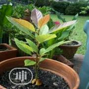 Organic Avocado Seedlings Or Avocado Seed   Feeds, Supplements & Seeds for sale in Lagos State, Victoria Island