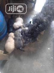 Baby Female Purebred Lhasa Apso   Dogs & Puppies for sale in Lagos State
