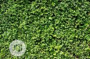 Synthetic Boxwood Hedge Wall | Landscaping & Gardening Services for sale in Lagos State, Ikeja