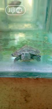 Real Live Water Turtles   Reptiles for sale in Lagos State, Ilupeju