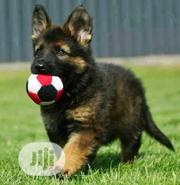 Baby Male Purebred German Shepherd Dog | Dogs & Puppies for sale in Lagos State, Gbagada