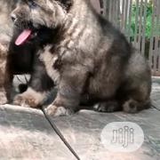 Baby Male Purebred Caucasian Shepherd Dog | Dogs & Puppies for sale in Lagos State, Gbagada