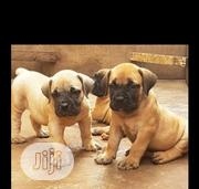 Baby Female Purebred Boerboel | Dogs & Puppies for sale in Lagos State, Magodo
