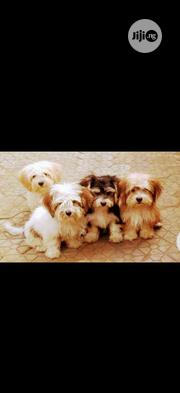 Baby Male Purebred Lhasa Apso | Dogs & Puppies for sale in Lagos State, Victoria Island