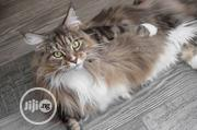 Young Female Purebred Maine Coon | Cats & Kittens for sale in Lagos State, Lekki Phase 1