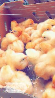 Zartech Brown Pullet | Livestock & Poultry for sale in Anambra State, Nnewi