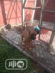 Young Female Purebred Boerboel | Dogs & Puppies for sale in Abuja (FCT) State, Gwarinpa