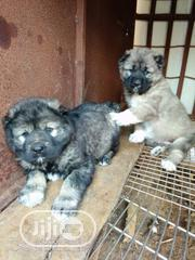 Baby Male Purebred Caucasian Shepherd Dog | Dogs & Puppies for sale in Plateau State, Jos