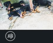 Baby Male Purebred Rottweiler | Dogs & Puppies for sale in Lagos State, Agboyi/Ketu