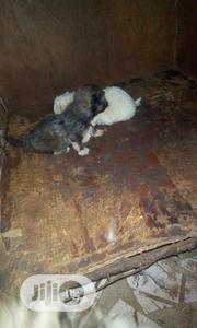 Baby Male Purebred Lhasa Apso   Dogs & Puppies for sale in Lagos State, Ojo