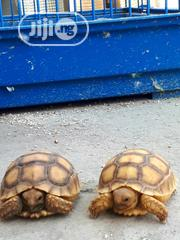 Tortoise For Sell   Reptiles for sale in Lagos State, Surulere
