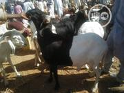 Black And White Ram | Livestock & Poultry for sale in Sokoto State, Sokoto North