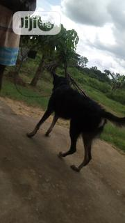 Young Male Mixed Breed Rottweiler | Dogs & Puppies for sale in Cross River State, Calabar