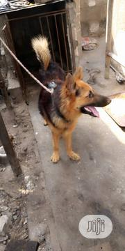 Adult Female Purebred German Shepherd Dog   Dogs & Puppies for sale in Abuja (FCT) State, Gwarinpa