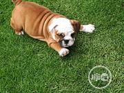 Young Female Purebred Bulldog   Dogs & Puppies for sale in Abuja (FCT) State, Garki 2