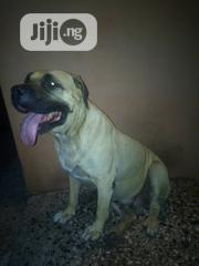 Adult Female Purebred Boerboel | Dogs & Puppies for sale in Lagos State, Amuwo-Odofin