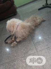 Young Male Purebred Lhasa Apso | Dogs & Puppies for sale in Lagos State, Lagos Island