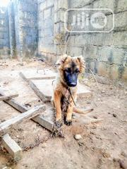 Young Male Purebred Caucasian Shepherd Dog | Dogs & Puppies for sale in Abuja (FCT) State, Gwarinpa