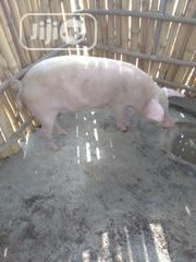 Matured Pig   Livestock & Poultry for sale in Osun State, Olorunda-Osun