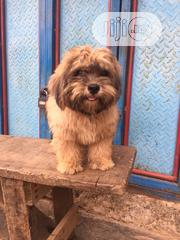 Young Male Purebred Lhasa Apso   Dogs & Puppies for sale in Lagos State, Alimosho
