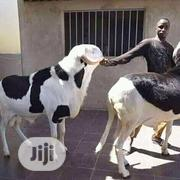 Laduim Sheep | Livestock & Poultry for sale in Kano State, Fagge