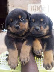 Baby Female Purebred Rottweiler | Dogs & Puppies for sale in Lagos State, Amuwo-Odofin
