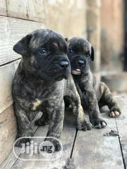 Baby Male Purebred Boerboel | Dogs & Puppies for sale in Oyo State, Ido