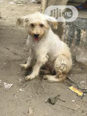 Adult Female Mixed Breed Lhasa Apso | Dogs & Puppies for sale in Lagos State, Badagry