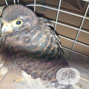 Baby Eagle | Birds for sale in Lagos State, Ikorodu