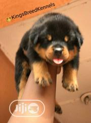 Young Male Purebred Rottweiler | Dogs & Puppies for sale in Lagos State, Magodo